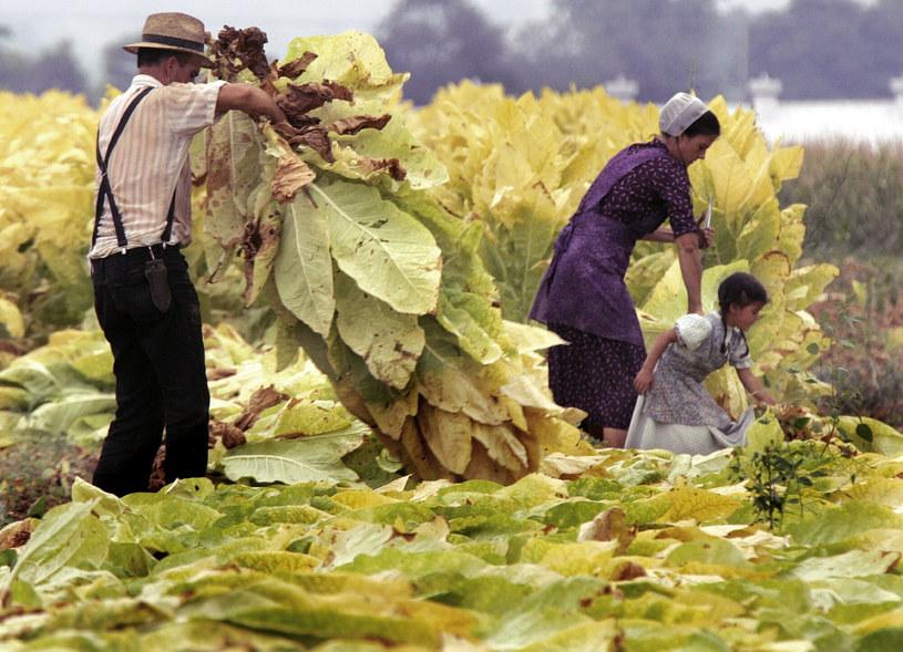 Rodzina mennonitów podczas pracy na polu w Martindale w Pensylwanii /Rusty Kennedy /Associated Press/East News