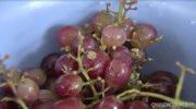 Rodzina znalazła w winogronach czarną wdowę
