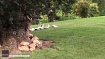 Rodzinka skunksów hasa po trawie. Urocze