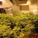 Rodzinna hodowla marihuany zlikwidowana