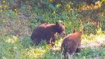 Rodzinna przepychanka niedźwiadków