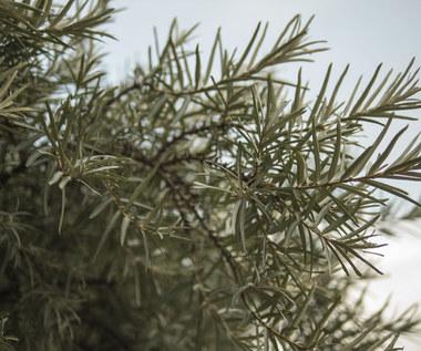 Rokitnik, dereń, tarnina – zapomniane polskie owoce