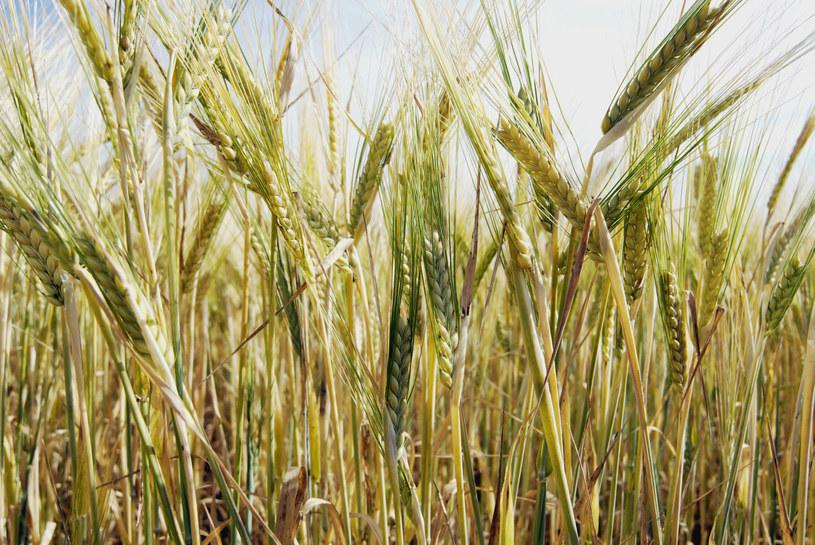 Rolnictwo odegrało kluczową rolę w ewolucji człowieka /© Glowimages