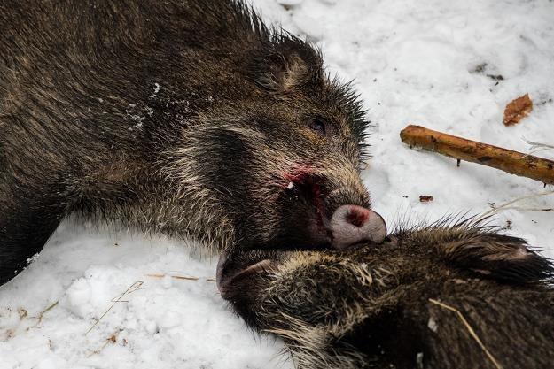 Rolnicy chcą większego wybijania dzików. Fot. Mateusz Grochocki /Agencja SE/East News