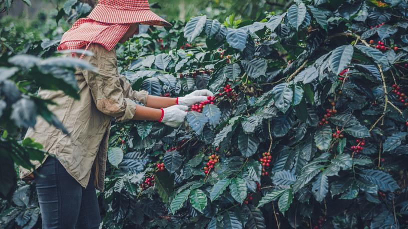 Rolnicy często zmuszeni są sprzedawać ziarna kawy po cenach nieprzewyższających kosztów produkcji /123RF/PICSEL