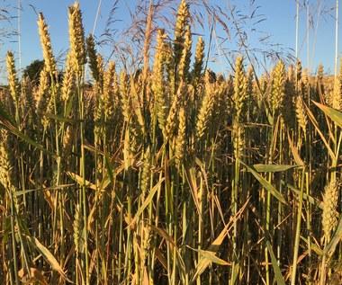 Rolnicy dostaną pieniądze za suszę pod koniec miesiąca