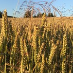 Rolnicy poszkodowani przez suszę będą mogli starać się o pomoc finansową. Ale nie wszyscy