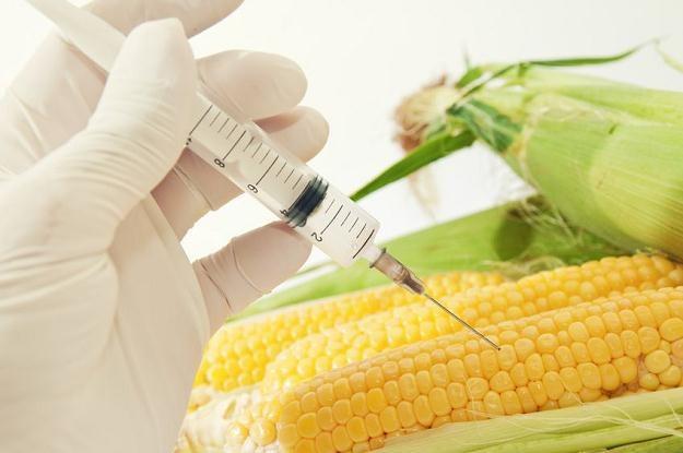 Rolnik, który wysieje kukurydzę MON 810 lub ziemniaka Amflora, zapłaci karę lub straci uprawę /©123RF/PICSEL