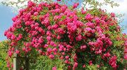 Romantyczne róże