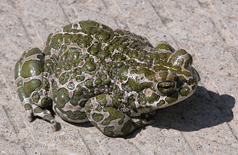 Ropucha zielona /Wikimedia