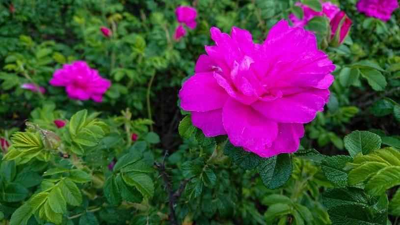 Rosa rugosa, czyli róża japońska /123RF/PICSEL