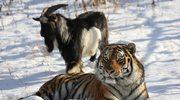 Rosja: Niezwykła przyjaźń tygrysa i kozła