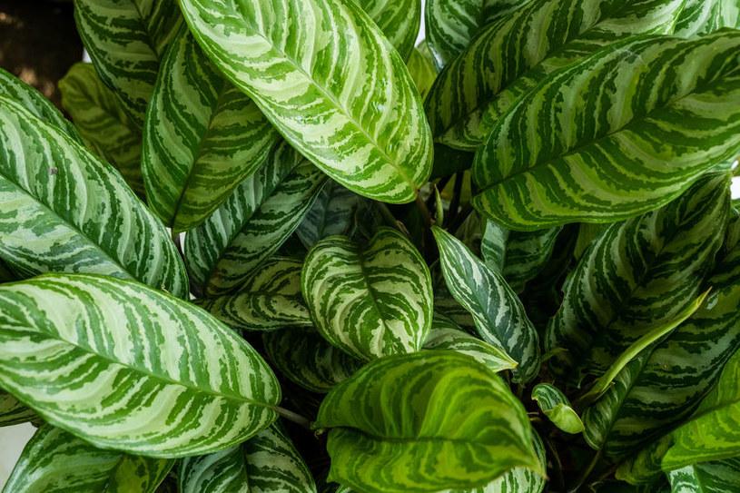 Roślina doniczkowa /©123RF/PICSEL