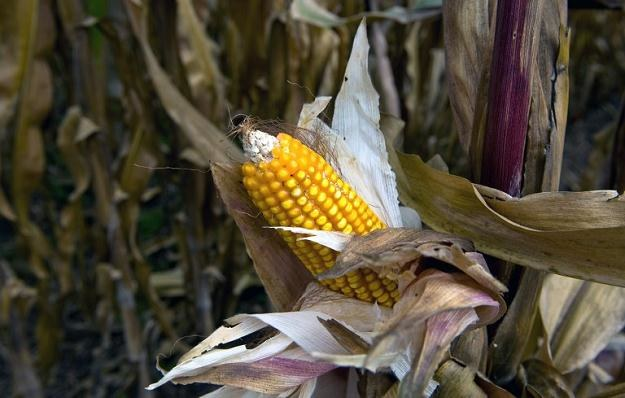 Roślina GMO nie może współistnieć z odmianami naturalnymi bez skażania tych drugich /AFP
