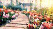 Rośliny cebulowe: Wykopujemy i sadzimy
