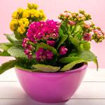 Rośliny doniczkowe, które kwitną cały rok