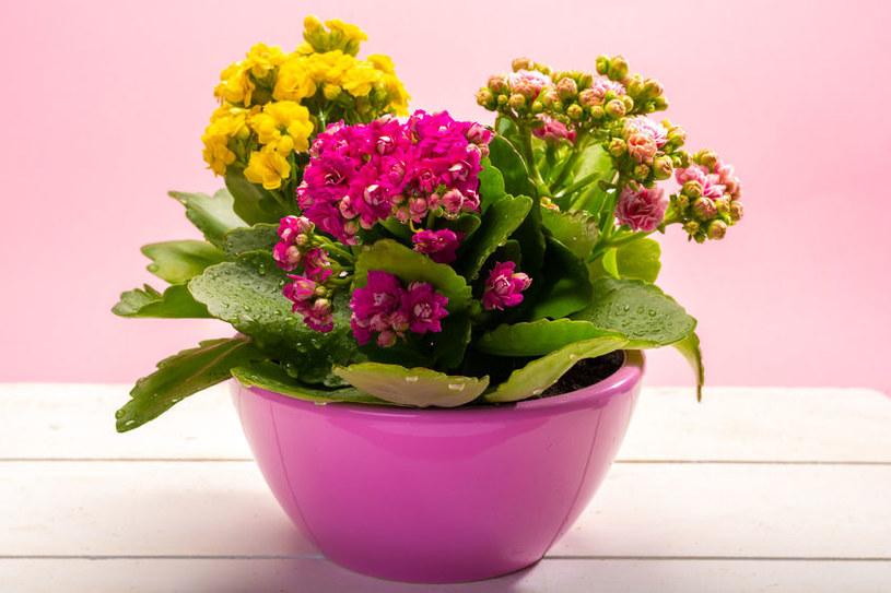 Rośliny doniczkowe, które kwitną przez cały rok /©123RF/PICSEL
