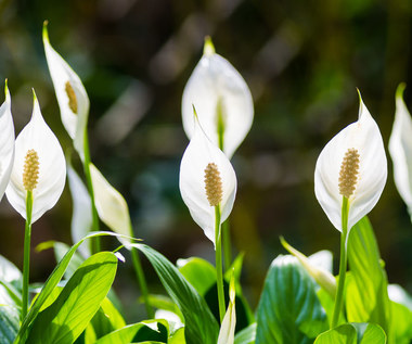 Rośliny doniczkowe, które najlepiej oczyszczają powietrze