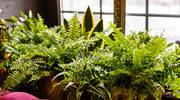 Rośliny doniczkowe łagodzą objawy astmy i POCHP