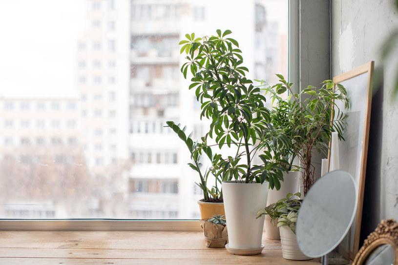 Rośliny doniczkowe /©123RF/PICSEL