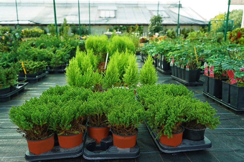 Rośliny iglaste w donicach /123RF/PICSEL