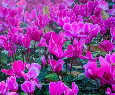 Rośliny, które kwitną tylko zimą