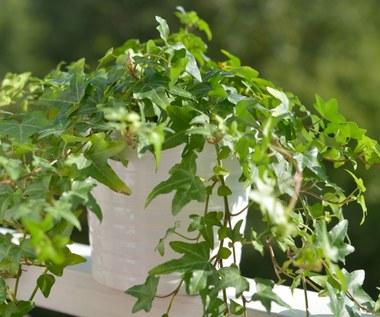 Rośliny, które pomogą w walce z astmą i alergiami