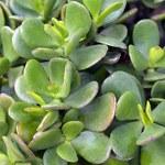 Rośliny, które przyciągają szczęście i pieniądze do domu