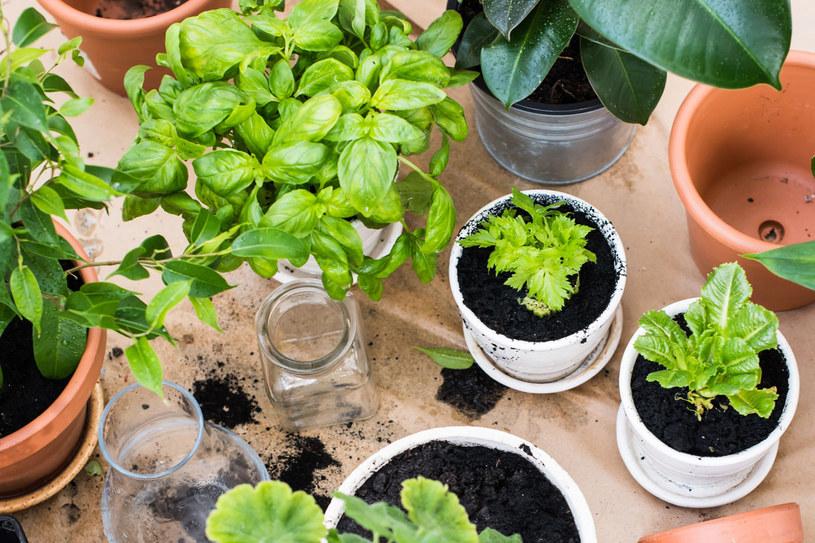 Rośliny, które stoją na parapecie mogą odstraszać owady /123RF/PICSEL