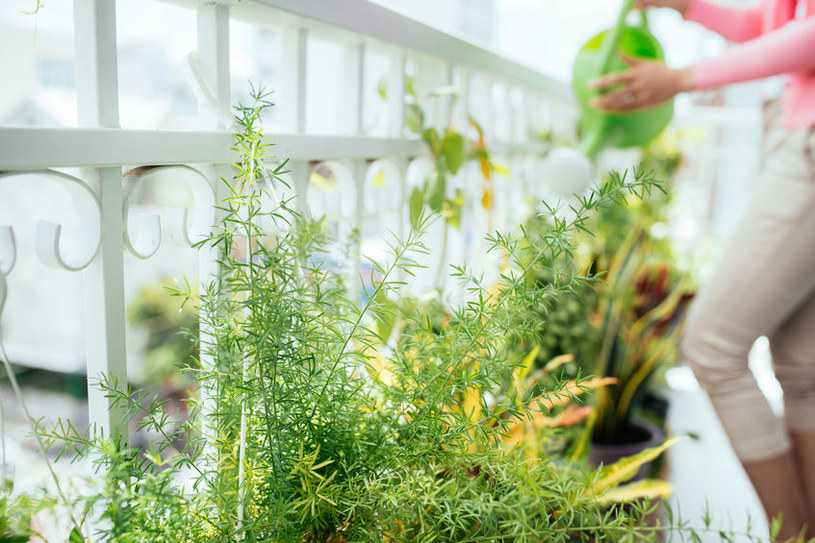 Rośliny kwitnące na balkonie powinny być podlewane nawet dwa razy dziennie /123RF/PICSEL