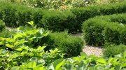 Rośliny na niskie żywopłoty