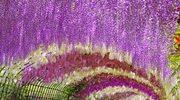 Rośliny na pergole