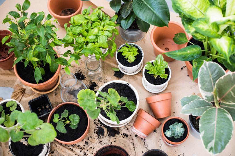 Rośliny o gładkich liściach raz w tygodniu zwilżaj wodą ze spryskiwacza. Jeśli jest twarda, najpierw ją przegotuj, aby nie zostawiała białych plam /123RF/PICSEL