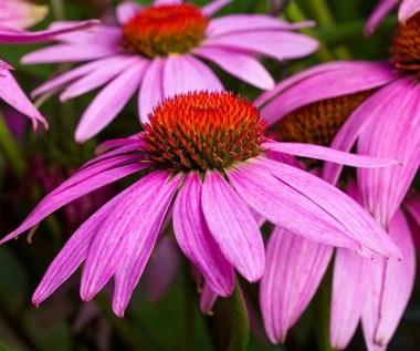 Rośliny wieloletnie do ogrodu: Jakie wybrać?