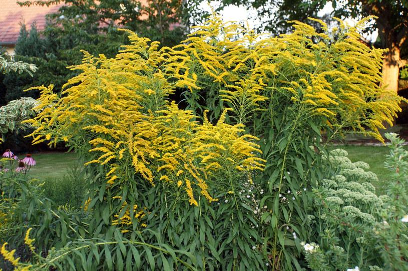 Rośliny zbieraj w suchy, ciepły dzień /123RF/PICSEL