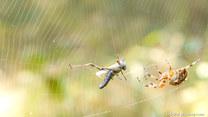 Rośliny zwykle nie płaczą, a pająki przed deszczem są leniwe
