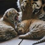Rośnie liczba dzikich tygrysów - po raz pierwszy od 100 lat