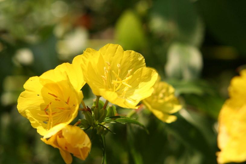Rośnie na polach, łąkach i nieużytkach, ale jego właściwości są niezwykle cenne /123RF/PICSEL