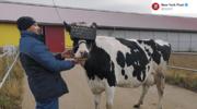 Rosyjska myśl agrarna: VR-owa terapia dla krów