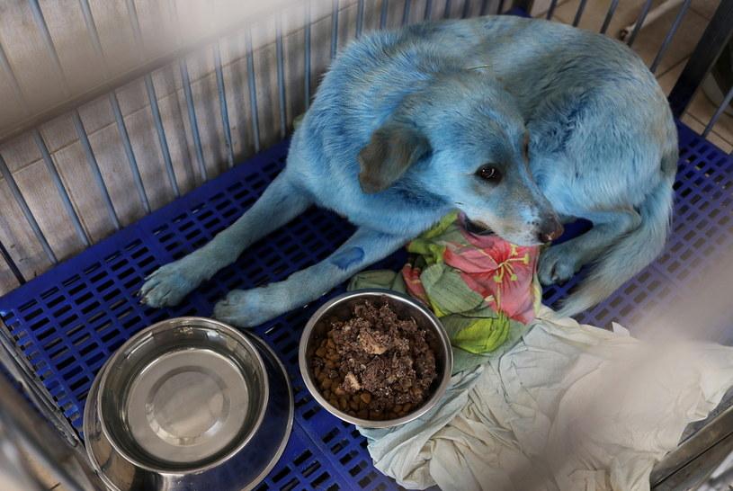 Rosyjski pies o niebieskiej sierści /Reuters /Agencja FORUM