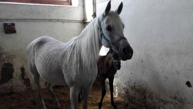 Roszady w państwowych stadninach koni arabskich. Pracę ma stracić prezes ośrodka w Michałowie