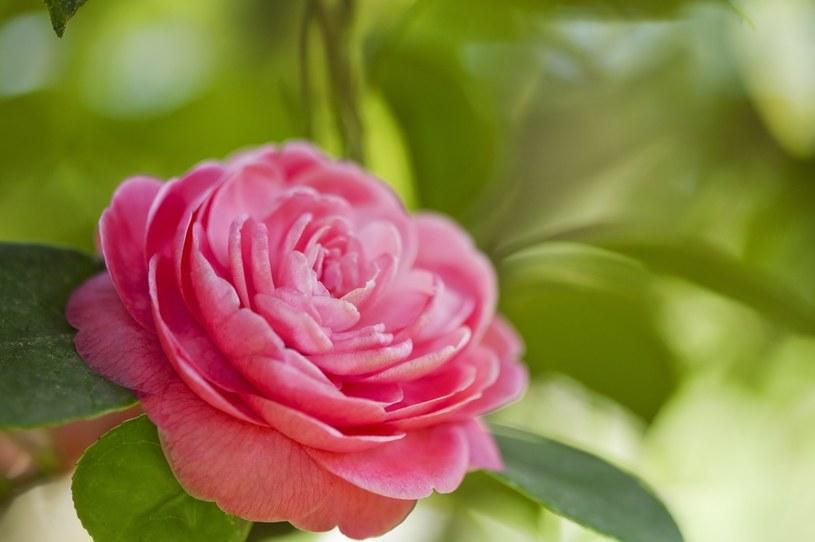 Róża wymaga przycinania /123RF/PICSEL