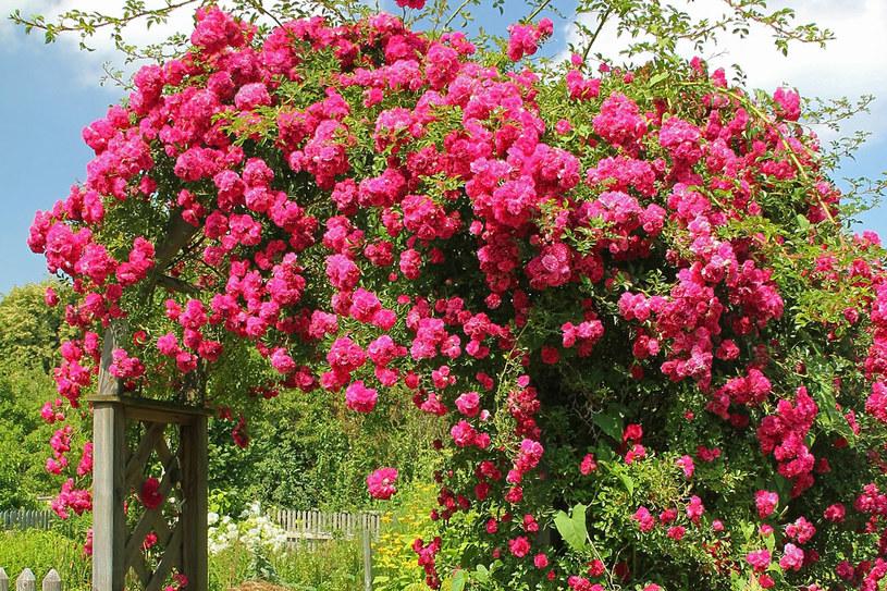 Róże pnące wymagają podwiązywania do podpór /123RF/PICSEL