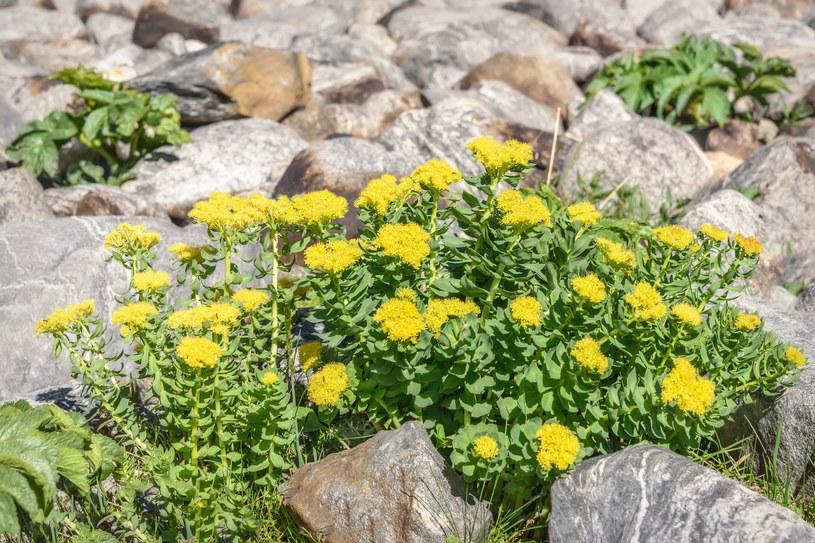 Różeniec górski lubi chłód i wysokość /123RF/PICSEL