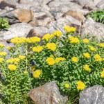Różeniec górski - roślina idealna na jesień