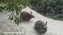 Rozkoszne zabawy małych wombatów. Goście ośrodka w Australii nie mogli powstrzymać śmiechu