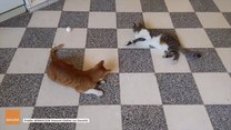 Rozleniwione koty nie mają ochoty na zabawę piłeczką