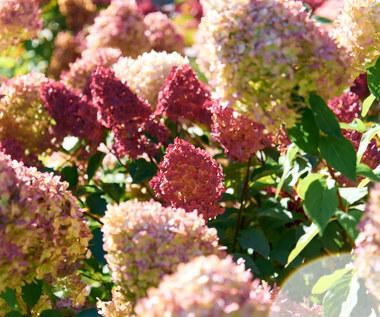 Rozmnażanie hortensji bukietowej jesienią