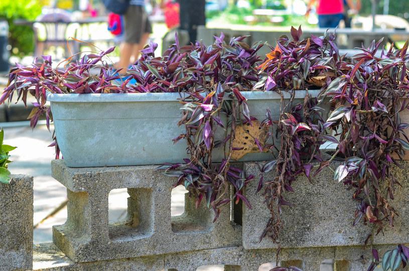 Rozmnażanie trzykrotki to dobry sposób, aby odmłodzić roślinę /123RF/PICSEL