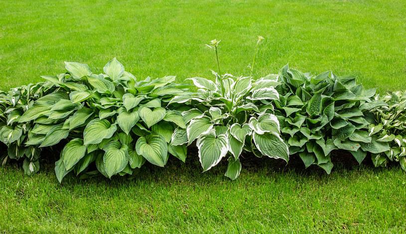 Różne odmiany funkii w ogrodzie